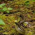 写真: リュウキュウアオヘビ