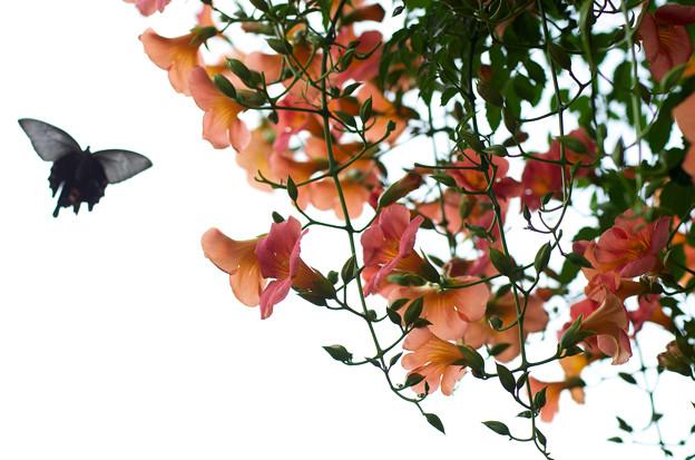 ノウゼンカズラ 蝶