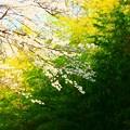 666 諏訪の竹林と桜