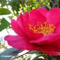 写真: 赤い花弁と黄色の雄蕊の花粉モコモコ♪