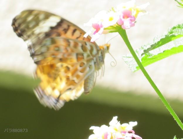 飛翔するツマグロヒョウモン