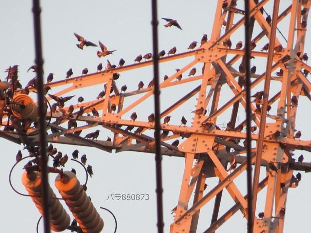 鉄塔にムクドリがそれぞれのポーズで