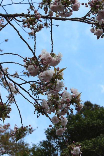 25.4.28鹽竈神社の鹽竈ザクラ