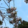 Photos: 25.4.28鹽竈神社の鹽竈ザクラ
