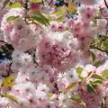 25.5.8鹽竈神社の鹽竈ザクラ(5月8日)