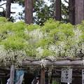 Photos: 25.5.24どんじき茶屋のフジ