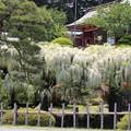 25.5.25鹽竈神社のフジ