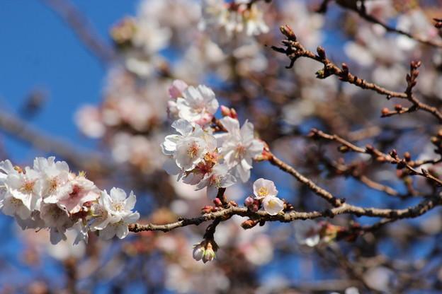 25.11.22鹽竈神社の四季桜