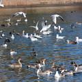 26.1.13加瀬沼の野鳥(その2)