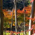 写真: オレンジの林