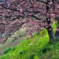 写真: 一足早い桜を