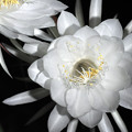 月夜に咲く花