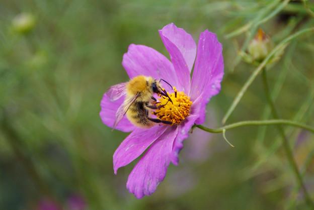 熱心な蜂さんね~~