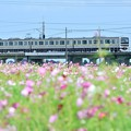 Photos: コスモスと209系3