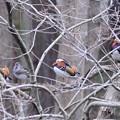 Photos: 木の上の鴛鴦