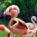 Photos: ベニイロフラミンゴ