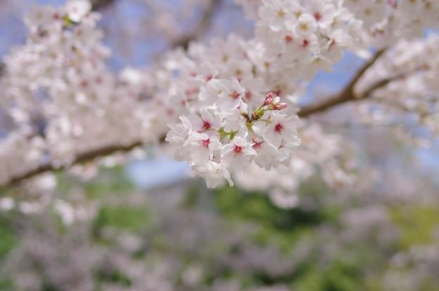 春色さくら色