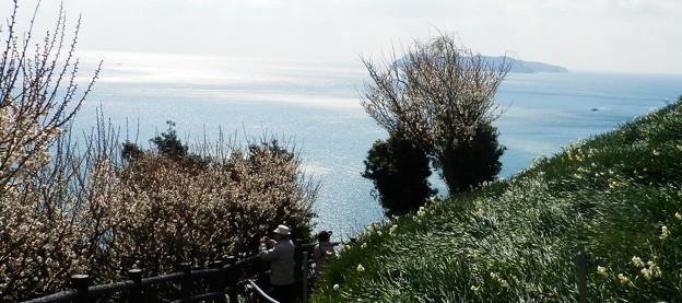 写真: 灘黒岩水仙郷27