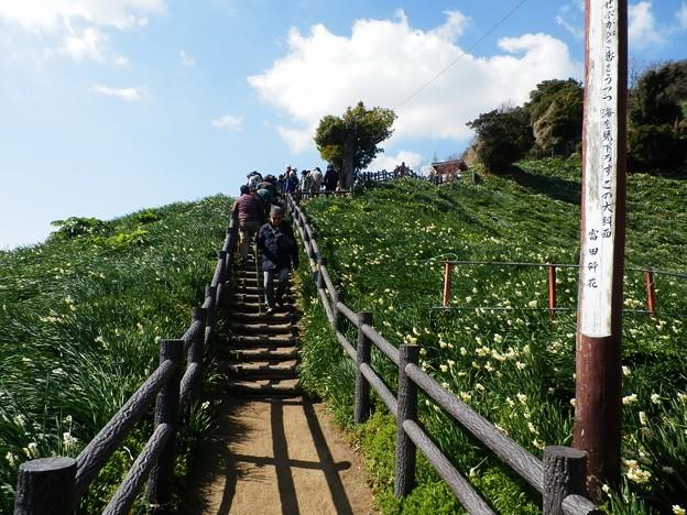 写真: 灘黒岩水仙郷28