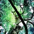 写真: 大三島・大山祇神社のご神木